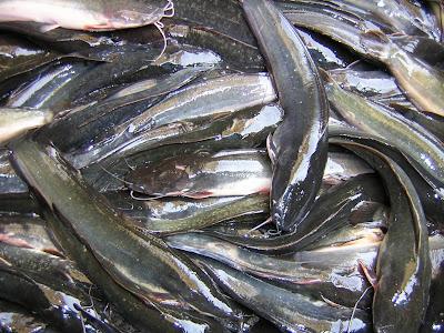 panduan cara praktis budidaya ikan lele kolam semen kolam terpal kolam tanah viterna poc nasa hormonik ton natural nusantara distributor nasa