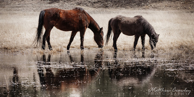 At the Watering Hole - Mustangs