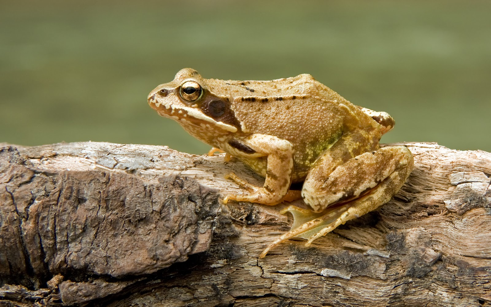 Amphibians: European Common Frog Rana temporaria