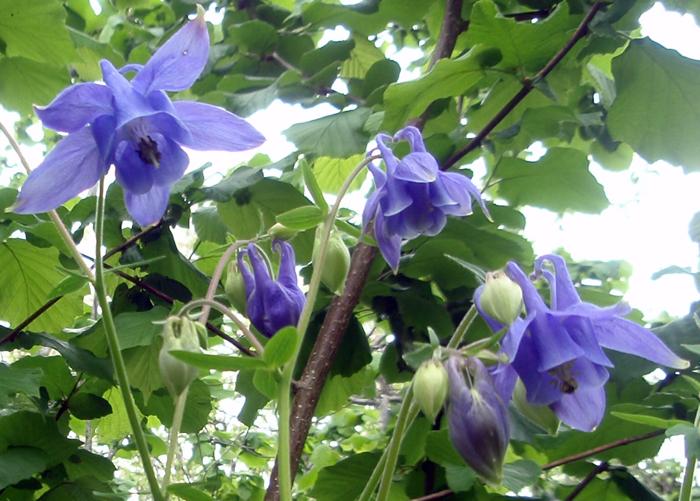 Preciosas aquilegias silvestres (Aquilegia vulgaris)