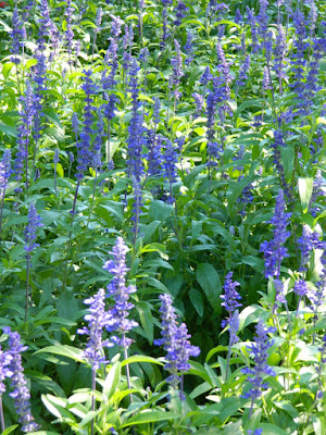 Victoria Blue Salvia farinacea at Edwards Gardens by garden muses-not another Toronto gardening blog