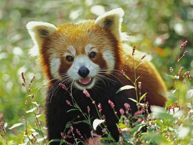 Diferente do que seu nome e sua aparência sugerem, o panda-vermelho não é um parente dos ursos, nem dos guaxinins, muito menos dos felídeos ou canídeos. Trata-se de um mamífero que é membro único de sua família (Ailuridae).