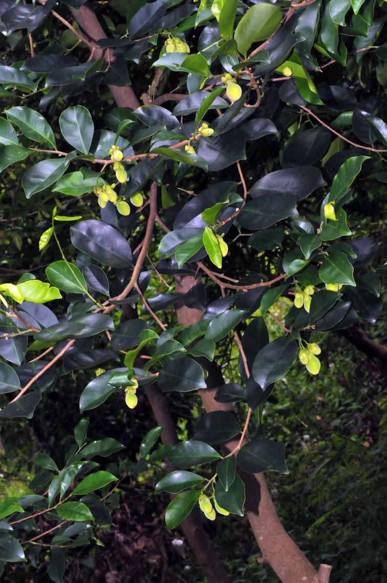 福星花園: 白木香
