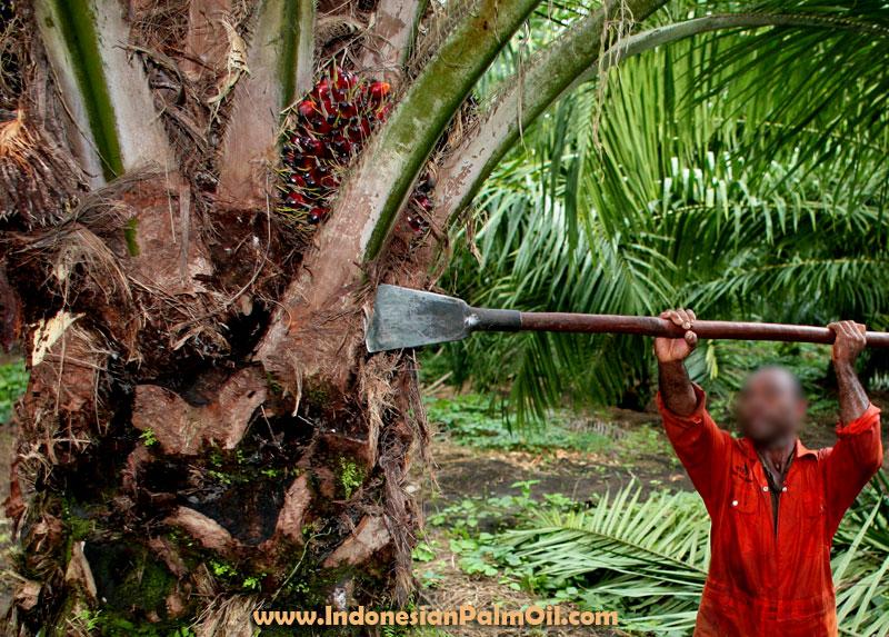 prospek investasi kelapa sawit di sinegal