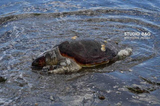 Νεκρή θαλάσσια χελώνα στην Αργολίδα (βίντεο)