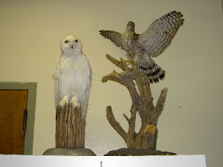 Snowy Owl and Cooper's Hawk