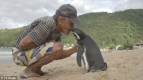 Lelaki Terima Lawatan Setiap Tahun Dari Penguin yang Pernah Diselamatkannya