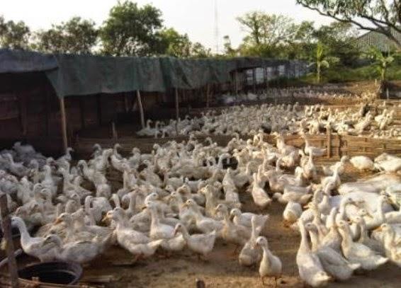 Bisnis Ternak Bebek Petelur ~ Tentang Kolam Kandang Ternak 5c9fd9223b