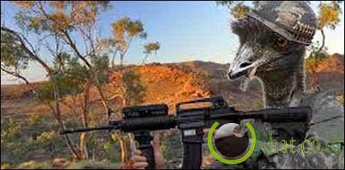Emu War: bagaimana Australia kehilangan perang terhadap unggas