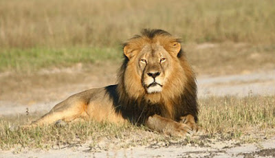 Singa Kebanggaan Zimbabwe Mati Ditembak Pemburu
