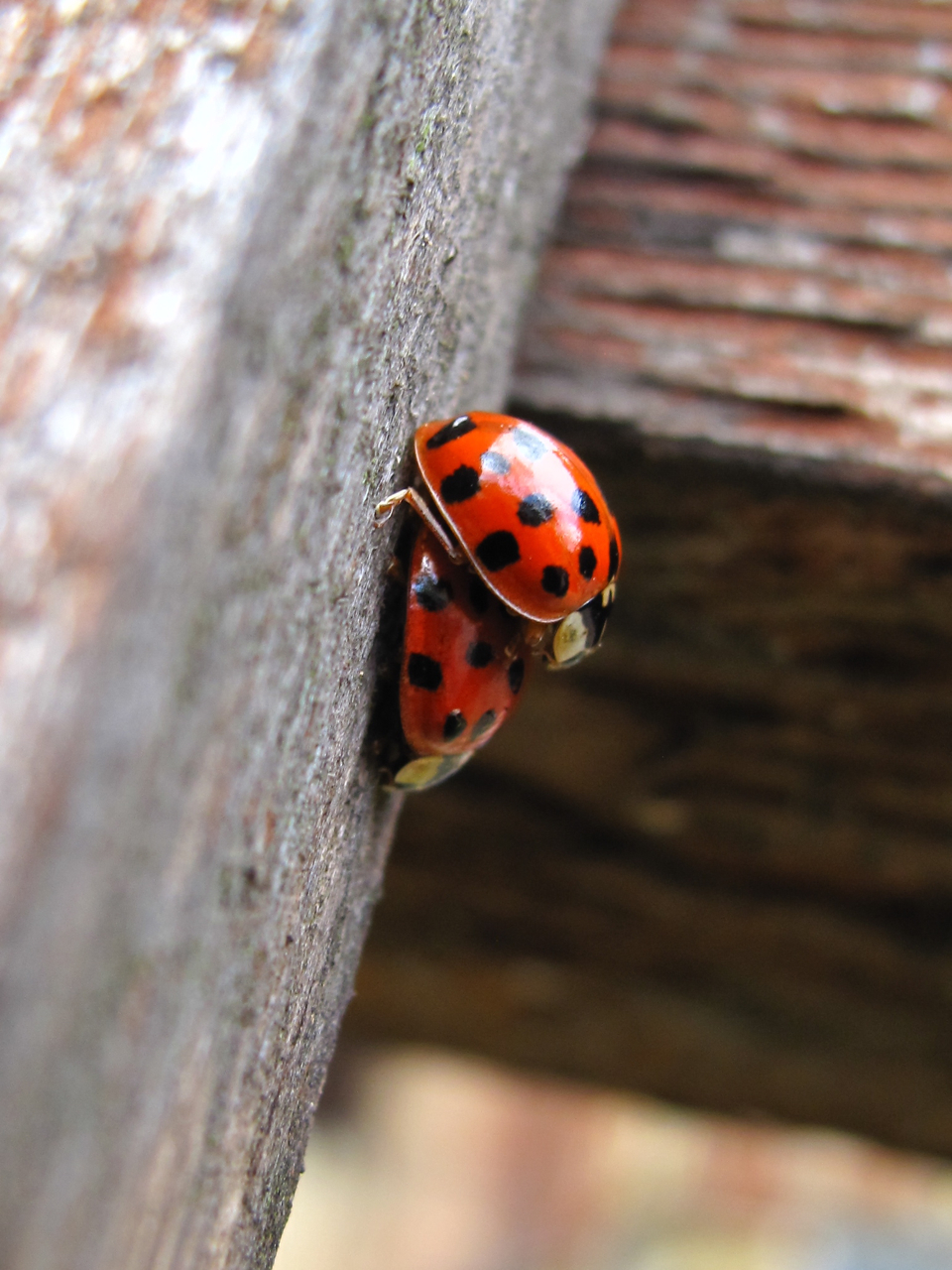 Ladybirds Invade Limpsfield: BugBlog: Ups And Downs Of Ladybirds