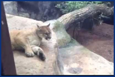 Lustiger Puma