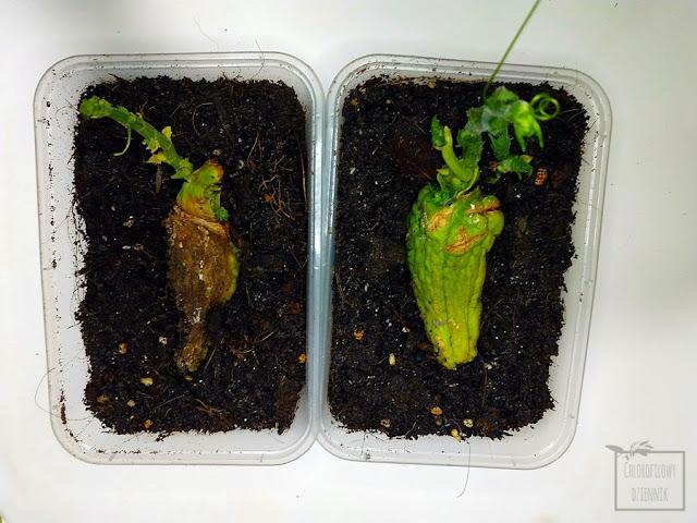 Chayote, czyli kolczoch jadalny (Sechium edule) - inaczej mirliton squash, sayote, tayota czy lambusian. Owoc z rodziny dyniowatych (Cucurbitaceae), uprawa z nasion, owocu, dziwne rośliny egzotyczne, siew, hodowla w doniczce, jak wysiać chayote, jak kiełkuje chayote, co to jest kolczoch i jak rośnie. Tropikalne pnącza owocowe, mało znane warzywa azjatyckie, ciekawe rośliny z nasion, pestki.