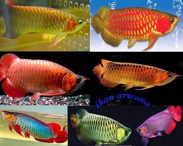 Jenis-jenis Ikan Arwana Yang Ada Di Indonesia