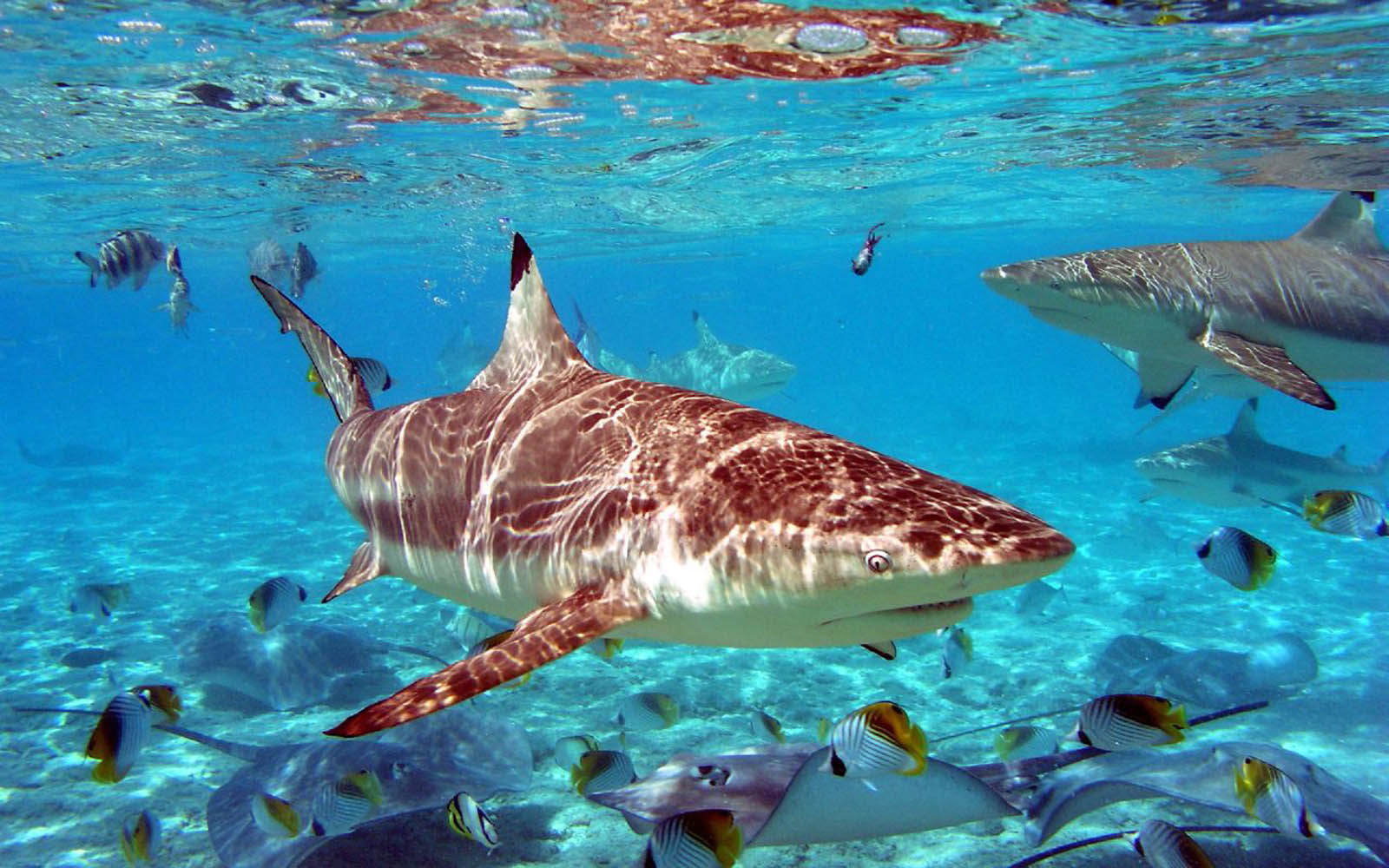 Tag: Sharks Desktop Wallpapers, Backgrounds, Photos, Pictures,and ...