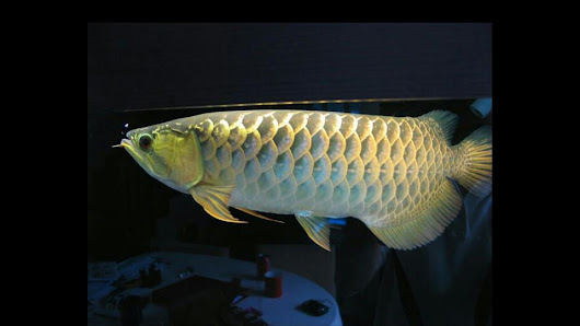 A beautiful golden crossback arowana