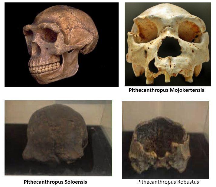 Ciri Pithecanthropus Erectus Jenis Jenis Dan Gambarnya