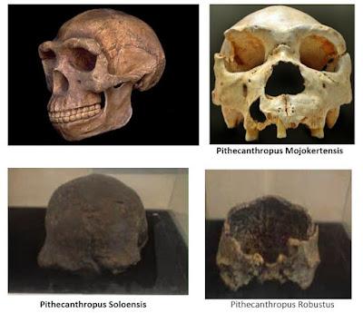7 Ciri Pithecanthropus Erectus (Jenis-Jenis dan gambarnya)