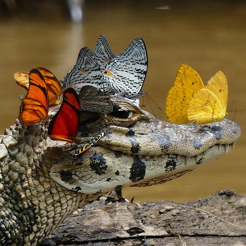 Un caimán con una corona de mariposas fotografiada por Mark Cowan