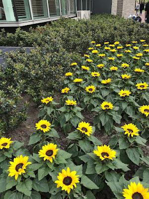 amsterdam-muzeul-van-gogh-floarea-soarelui-la intrare