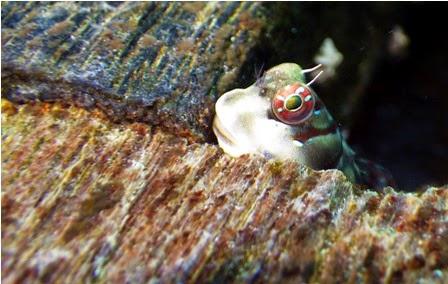 Foto makro seekor frogfish
