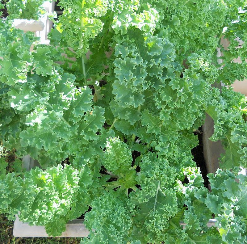 Planting Kale In Pots: A Kitchen Garden In Kihei Maui: Growing Heirloom Kale In Kihei