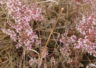 Brecina (Calluna vulgaris o Erica vulgaris)