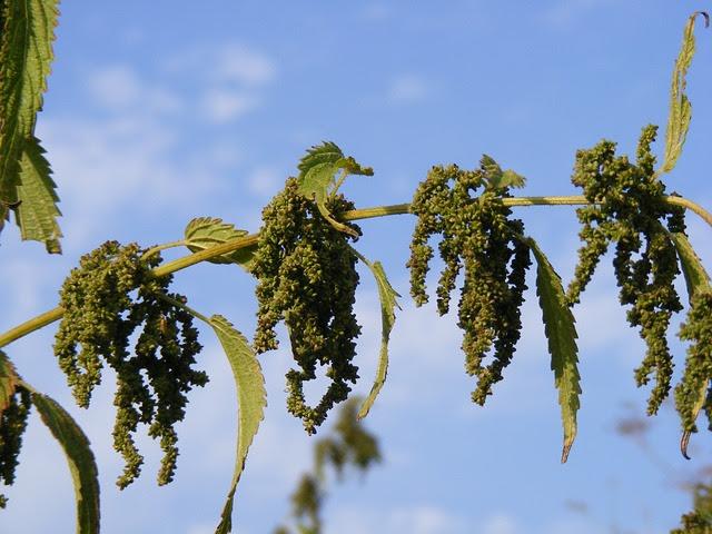 Ortiga mayor, urtica dioica en época de floración