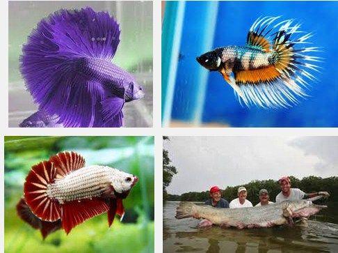 Info Seputar Ikan, Tentang Ikan Cupang Laut