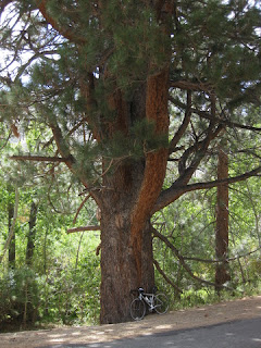 Bicycle rests against an enormous pine tree along Glacier Lodge Road near Big Pine, California