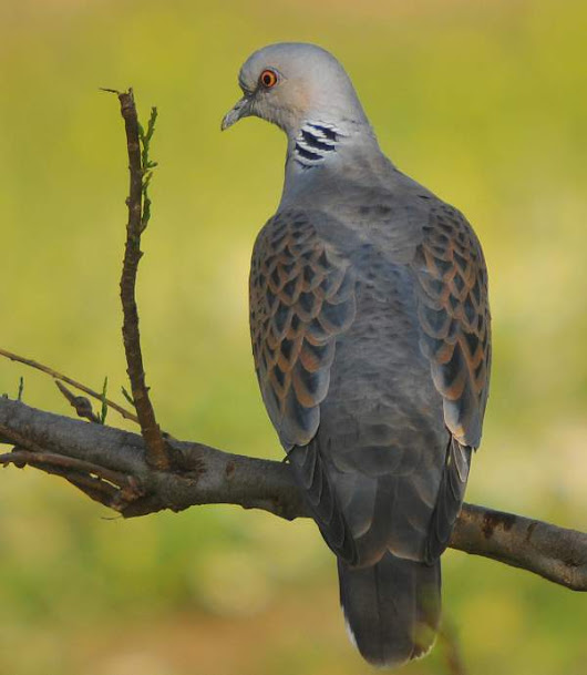 European turtle dove photos