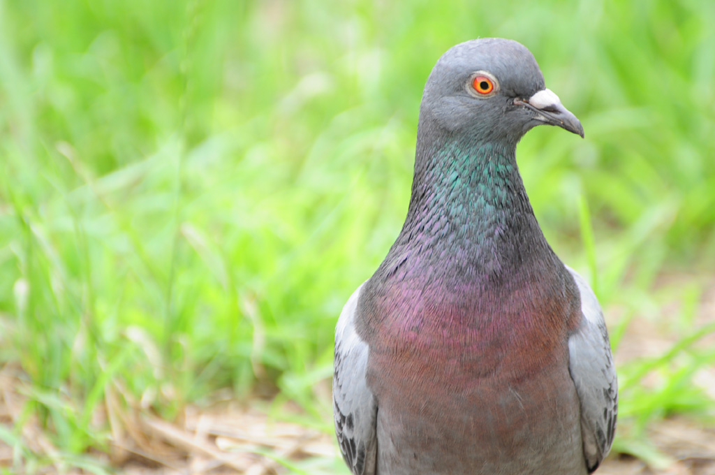 MASK CAMERAMAN: Do you know the colors of pigeon's eyes?
