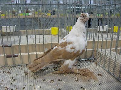 warsaw pigeons