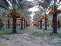 dates-of-balochistan