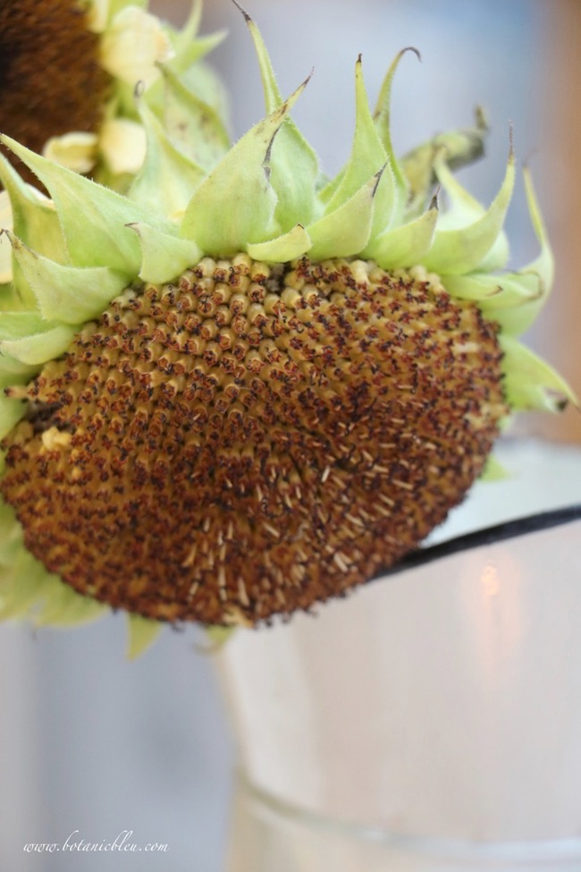 white sunflower seed head adds french country fall to a breakfast sunspace