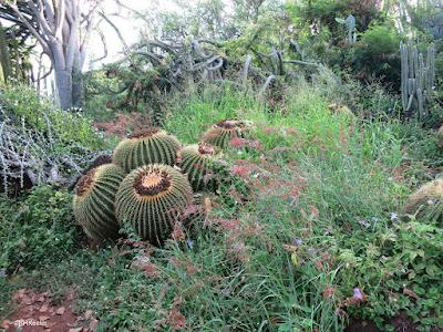 before weeding Kapi'olani Community College Cactus Garden