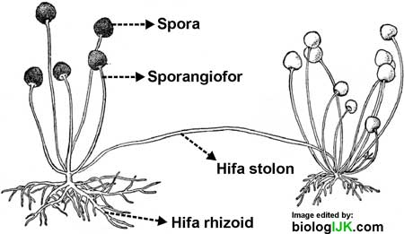 struktur tubuh Zygomycota Rhizopus stoloniferus