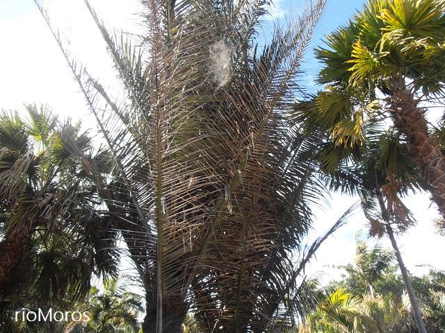 PALMERA DEL AZÚCAR Arenga pinnata