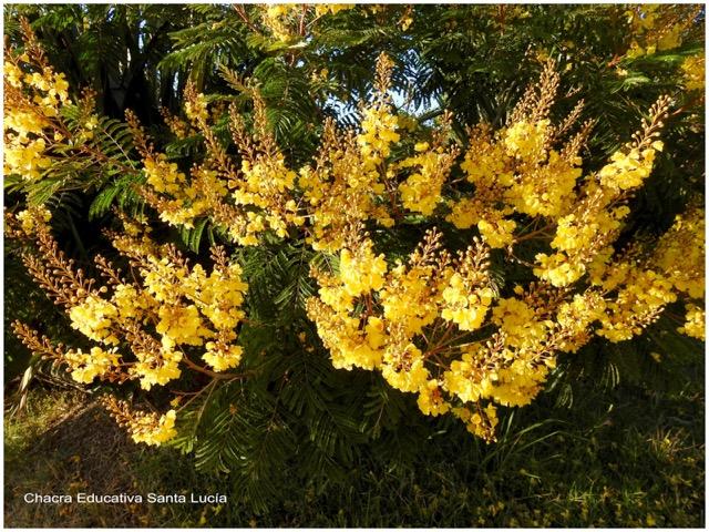 Ibirapitá en flor - Chacra Educativa Santa Lucía