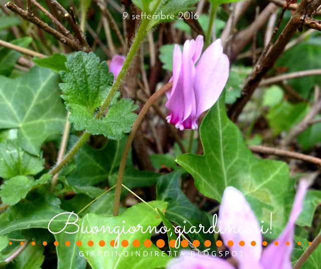 ciclamino selvatico (Cyclamen hederifolium) - il giardino dalla A alla Z -  i fiori della settimana - un giardino in diretta
