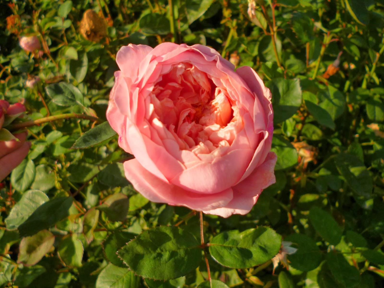 David Austin Roses Alnwick Rose