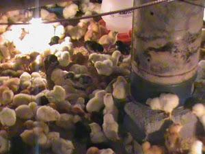 Bisnis Peluang Bisnis Rumahan Ayam Kampung Super Yang Cepat Hasil