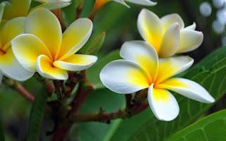 Gambar Bunga Kamboja yang Indah 3