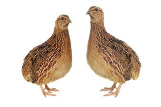 Ternak-Burung-Puyuh