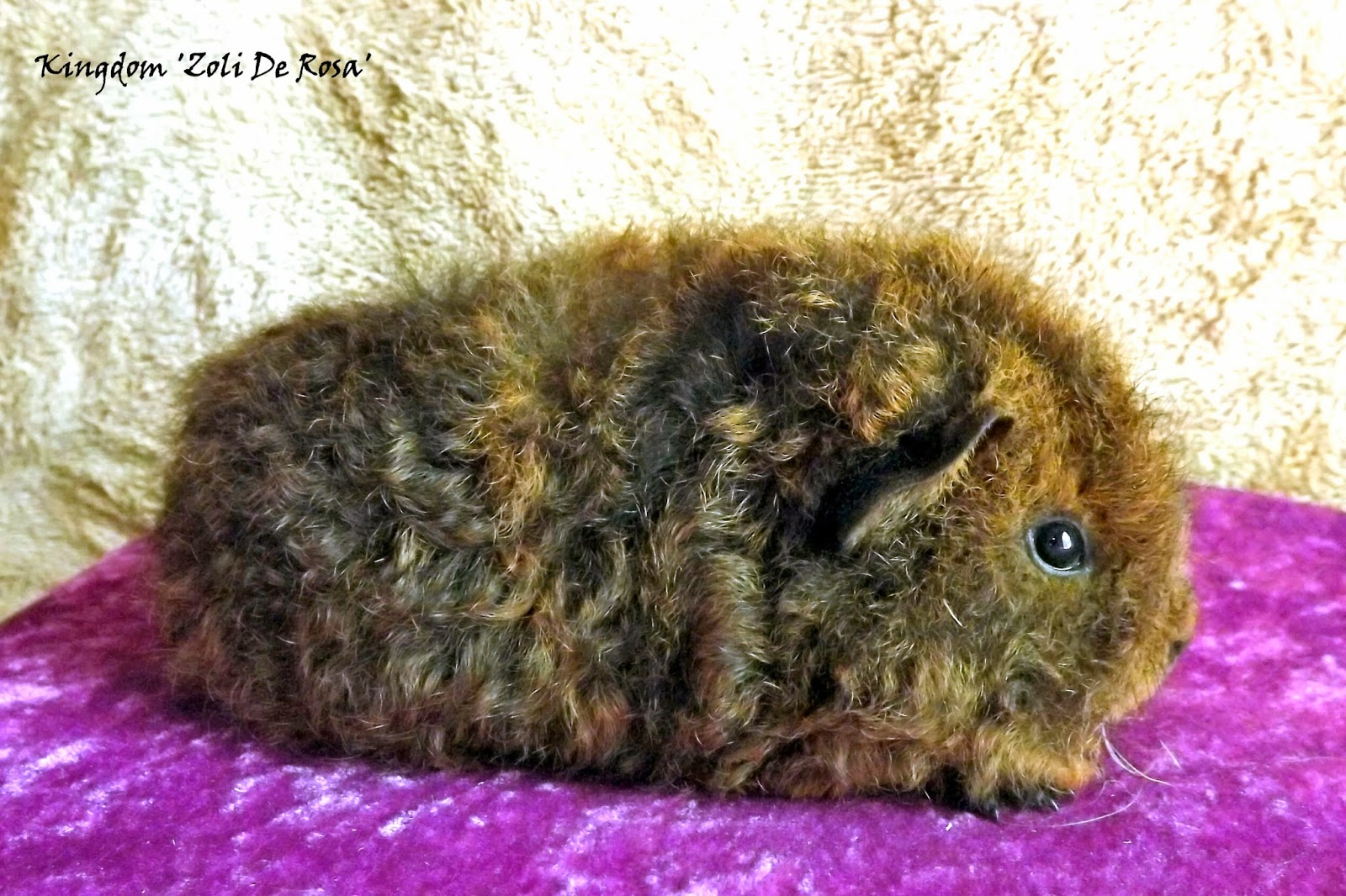 medium resolution of a purebred cavy pup
