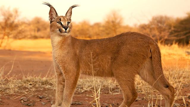 CARACAL - Um felino que, embora seja um animal selvagem, pode ser criado como animal doméstico, em alguns países. E, como predador que é, ele pode ainda ser treinado a caça.