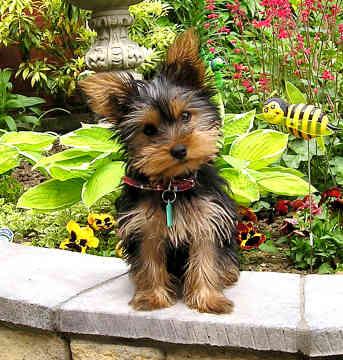 Razas de perros ideales para departamentos o casas - Pulgas en casa sin animales ...