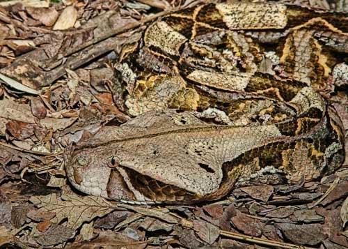 Kamuflase Gaboon Vipers (Ular Gaboon)