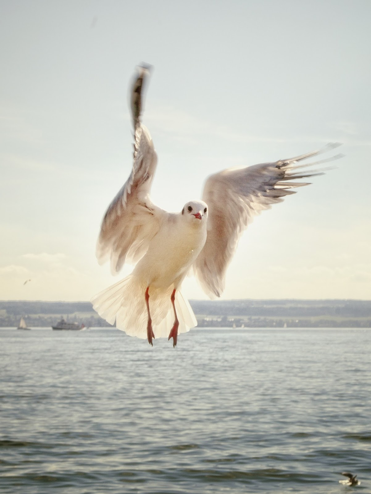 Picture of sea gull in flight.