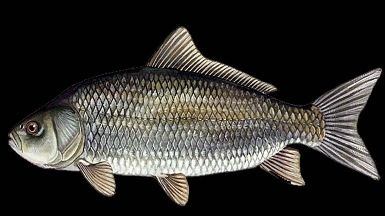 Freshwater fish beginning with r - Usumacinta Buffalo Fish Pictures_ictiobus Meridionalis